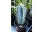 Kaktus - Pilosocereus azureus