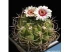 Kaktusi Gymnocalycium saglionis albispinum, 5 semenki