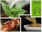 Kana-henna (Lawsonia inermis) 5 semenki