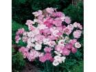 Karanfil mix (Dianthus plumarius) 100 semenki