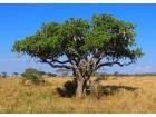 Kigelia africana / Drvo kobasica / 5 semenki