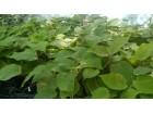 Kivi - sadnice preko 70cm