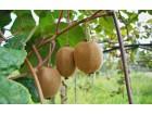 Kivi, stratifikovano seme, 0,5g (oko 410-440 semenki)