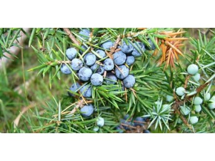 Kleka planinska 300+ bobica  Juniperus Communis