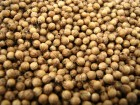 Korijander za setvu, 3g (oko 450 semenki)