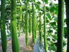 Krastavac Long Foot 20 semena organsko