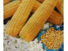 Kukuruz kokičar (20 semenki)