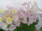 LANTANA biljka sa slike u cvetu