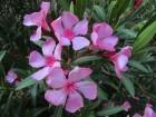 Lijander/oleander nerium