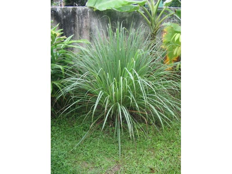 Limunova trava (Cymbopogon citratus) 100 semenki