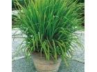Limunska trava (Cymbopogon citratus) 30 semenki