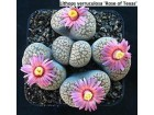 Lithops verruculosa `Rose of Texas` - 10 semenki