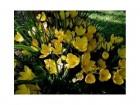 Lukovice jesenjeg krokusa strembergija-3 komada