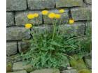 Maslačak (Taraxacum Officinale), 2g (oko 7000 semenki)