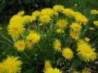 Maslačak-Taraxacum officinale (100 semenki)