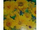Mešavina jednogodišnjih cveća, narandžasta /700 seme