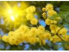Mimoza (Acacia dealbata) 10 semenki