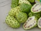 Noni (Morinda citrifolia) 10 semena