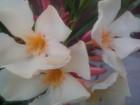 Oleander -Nerium