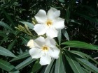 Oleander mix / beli, roze, crveni / 30 semenki