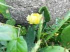 Opuntia ficus indica - Sadnica