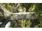 Orah orahovina orahovo deblo orahovo drvo orahov balvan