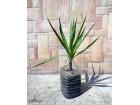 Palma - Yucca drvo zivota