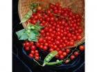 Paradajz Ribizla (10 semena)