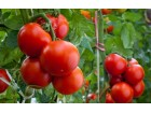 Paradajz `Volgogradets`, 0,25g (oko 65 semenki)