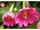 Passiflora mollissima passion fruit-biljka