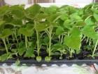 Paulovnija sadnice -rasad 50 komada