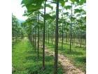 Paulownia elongata (1000 semenki)