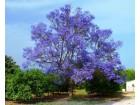 Paulownia tomentosa SEME