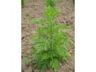 Pelin slatki (Artemisia Annua), 0,05g (600-700 semenki)