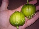 Physalis Ixocarpa (Tomatiljo), 0,2g (oko 100 semenki)