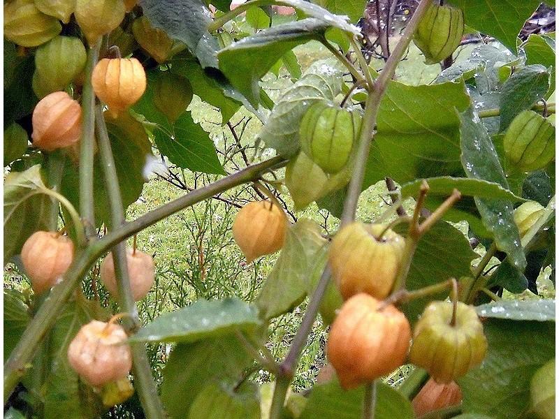 Physalis Peruviana (Peruanska jagoda) 0,15g / 150+ sem.