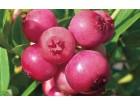 Pink Lemonade - Pink borovnica sadnica