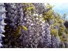 Plava kiša - Wisteria sinensis