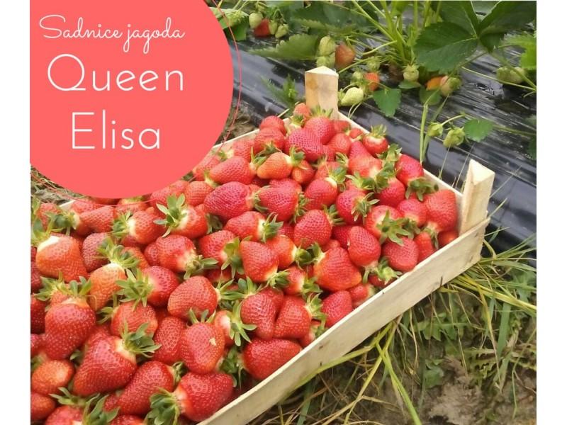 Prodajem sadnice jagode sorte `Queen Elisa`