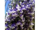 Psoralea fleta / 5 semenki