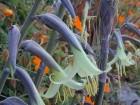Puya mirabilis / 10 semenki