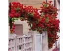 Ruža penjačica (crvena) 20 semenki
