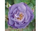 Ruža penjačica (svetlo plava) 20 semenki