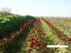 Ruže - sadnice ekstra kvaliteta