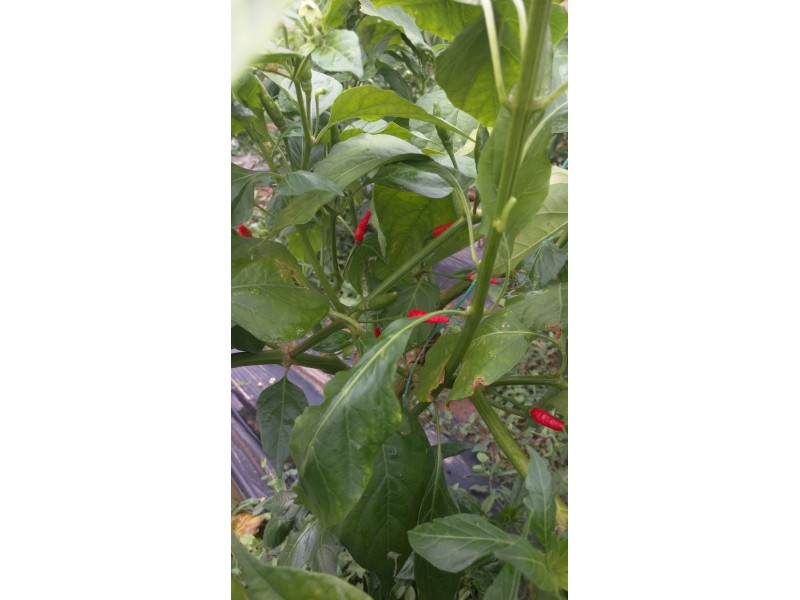 SILING LABUYO paprika sadnice-rasad