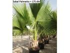 Sabal palmetto / Kupus palma / 5 semenki