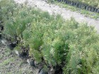 Sadnice  tuje 20 sadnica COLUMNA SEZONSKA RASPRODAJA