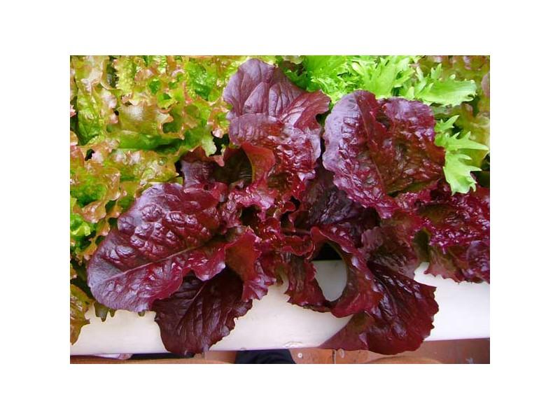 Salata crvena `Red Bowl Salad`, 0,3g (oko 350 semenki)
