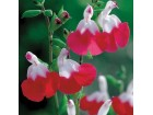 Salvia - Hot Lips - Vrele usne