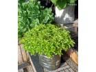 Sedum Spirium ( Više biljaka )